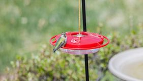 Wild Female Adult Anna`s Hummingbird at a Feeder During Migratio Stock Images