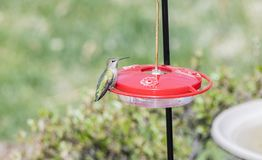 Wild Female Adult Anna`s Hummingbird at a Feeder During Migratio Royalty Free Stock Photos