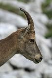 Wild female alpine ibex - steinbock portrait Stock Photo
