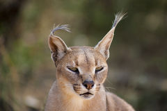Wild female Caracal portrait in Namibian savannah Stock Images