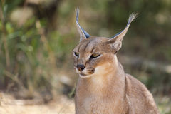 Wild female Caracal portrait in Namibian savannah Stock Photo