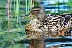 Wild female duck Royalty Free Stock Image
