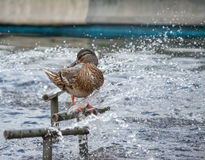Wild Female Duck diping in the fountain Stock Photo