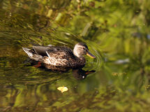 Wild female duck Royalty Free Stock Images