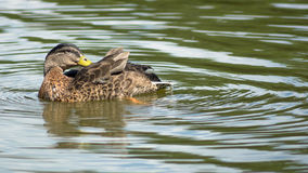 Wild female duck washing herself in the pond. Wild female duck swimming and washing herself in the pond stock photo