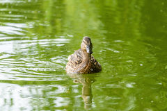 Wild Female Duck On Water. Wild Female Duck Swimming On Water Stock Images