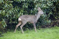 Wild Female European Roe Deer in front of rhododendron Bushes Stock Photography