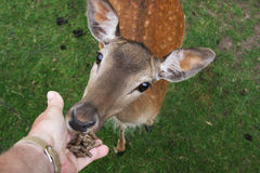 Wild Female Fallow deer feeding by hand. Royalty Free Stock Photo