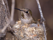 Wild Female Humming Bird on Nest Stock Photography