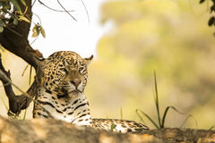 Wild Female Jaguar Resting in the Shade Royalty Free Stock Photos