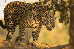 Wild Female Jaguar Walking in the Shadows. In a natural setting, beautiful black rosettes and spots over yellow-orange fur allow this female Jaguar to walk and Stock Image