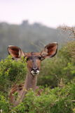 Wild female kudu Stock Photography