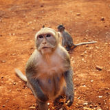 Wild female macaque Royalty Free Stock Photo