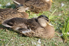 The wild female mallard duck. ( Anas platyrhynchos ) with other ducks Royalty Free Stock Image