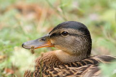 Wild female mallard duck Royalty Free Stock Images