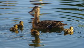 Wild female mallard duck with cute ducklings  Stock Photo