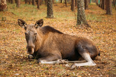 Wild female moose in forest reserve Stock Image