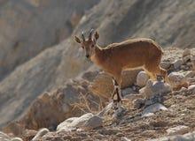 Wild Female Of Goat, Desert Of Negev, Israel Stock Photos