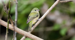 Wild Female Painted Bunting in Punta de Mita, Mexico. Wild Green Female Painted Bunting in Punta de Mita, Mexico Royalty Free Stock Images