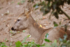 Wild female roe deer Royalty Free Stock Images