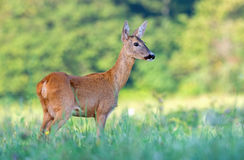 Wild female roe deer in a field Royalty Free Stock Photography