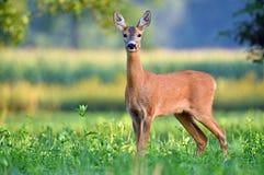 Wild female roe deer in a field Stock Photography