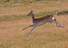 Wild female running Deer Stock Image