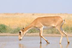 Wild female Saiga antelope near watering in steppe Stock Photography