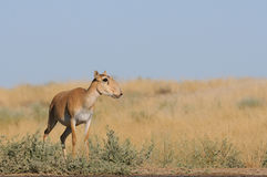 Wild female Saiga antelope near watering in steppe Stock Photo