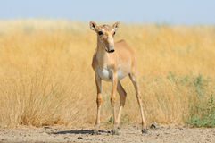 Wild female Saiga antelope near watering in steppe Stock Images
