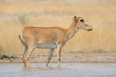 Wild female Saiga antelope near watering in steppe. Critically endangered wild Saiga antelope (Saiga tatarica) near watering in steppe. Federal nature reserve Royalty Free Stock Photo