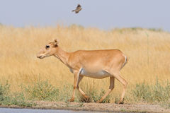 Wild female Saiga antelope near watering in steppe and flying la Stock Photo