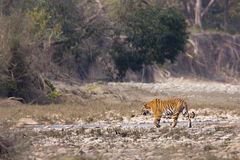 Wild female tiger, Bardia National Park, Nepal Royalty Free Stock Photo