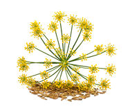 Wild fennel Stock Photography