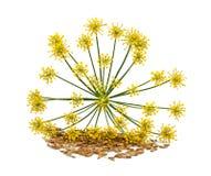wild fennel Arkivbild