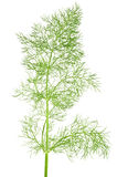 Wild fennel Stock Photo