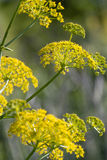 Wild fennel. Closeup of a yellow wild fennel plant Royalty Free Stock Image