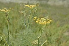 Wild Fennel or Foeniculum vulgare. The edible and pungent wild Fennel with yellow flowers and feathery fronds of foliage makes it an attractive wild plant stock photography