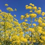wild fennel fields Stock Images