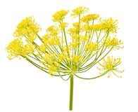 Wild fennel flowers Stock Photos
