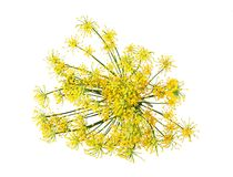Wild fennel flowers Royalty Free Stock Photography
