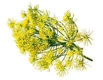 Wild fennel flowers Royalty Free Stock Photos