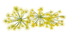 Wild fennel flowers Royalty Free Stock Image