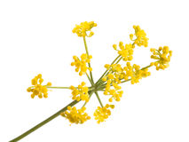 Wild fennel flowers Royalty Free Stock Images
