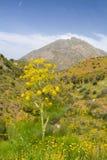 Wild fennel. Foeniculum vulgare in a valley on Crete, Greece stock photo