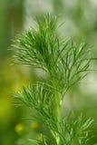 Wild fennel, nigella arvensis Stock Photography