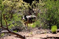 Wild feral Boar Stock Image