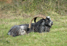 Wild Feral Goat Stock Image