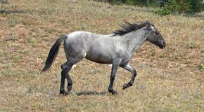 Wild Feral Horse - Blue Roan yearling mare running in the Pryor Mountains Wild Horse Range in Montana USA. Wild Feral Horse - Blue Roan yearling mare running in stock photos