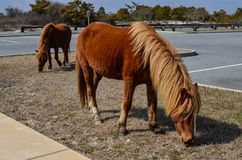 Wild feral horses roam and graze in a parking lot in Assateague Island Maryland royalty free stock images